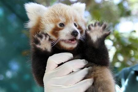 Image of: Facts Endangered Red Panda Organizations Endangered Red Panda