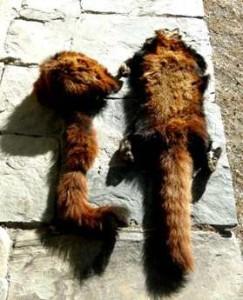 Nepal Picture Red Pandas Tulsa World Decline Endangered Red Panda